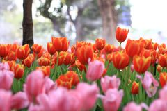 Orange tulip. On background blur Stock Image
