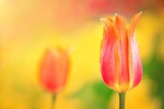 Orange tulip on the background of yellow flowers close-up. Orange tulip on the background of green grass and yellow flowers close-up in sunny summer day stock photo