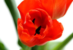 An orange tulip Stock Photography