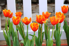 Orange tulip Royalty Free Stock Images