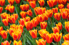 Orange tulip blossom Stock Photography