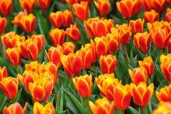 Orange tulip blossom. Spring orange tulip field in butchart gardens, vancouver island, british columbia, canada stock photography