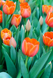 Orange tulip blossom Royalty Free Stock Images
