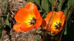 Orange Tulip Blossoms In Springtime royalty free stock photos