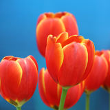 Orange tulip. On blue background Royalty Free Stock Photography