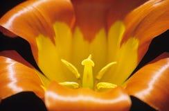 Orange Tulip Close up. Close up of an orange and yellow tulip at Keukenhof gardens, the Netherlands royalty free stock image