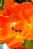 Orange tulip close up Stock Photo