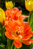 Orange tulip close up Royalty Free Stock Images
