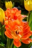 Orange tulip close up Royalty Free Stock Images