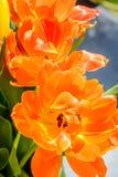 Orange tulip close up Royalty Free Stock Image