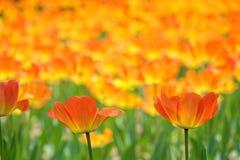 Orange tulip. The close-up of  orange tulip flowers royalty free stock photos