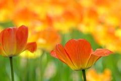 Orange tulip. The close-up of  orange tulip flowers stock image