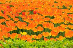 Orange tulip. The close-up of orange tulip flowers royalty free stock images
