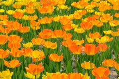 Orange tulip. The close-up of orange tulip flowers stock photography