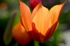 Orange Tulip Closeup 01 Royaltyfri Foto