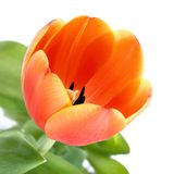 Orange tulip closeup Royalty Free Stock Image