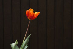 Orange tulip Royalty Free Stock Photo