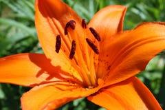Orange tulip Stock Images