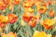 Orange Tulip Field stock photos