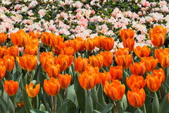 Orange tulip field Royalty Free Stock Images