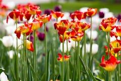 Orange tulip. Field of yellow and orange tulips stock photos