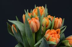 Orange tulip flower for background. Orange tulip flower on black background with copy space for text Stock Photos