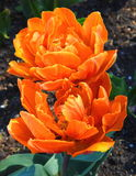 Orange tulip flower Stock Photo