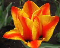 Orange tulip flower Stock Photos