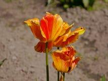 Orange tulip flower Royalty Free Stock Photo