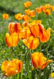 Orange tulip flower close-up in field Stock Image