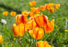 Orange tulip flower close-up in field Royalty Free Stock Images