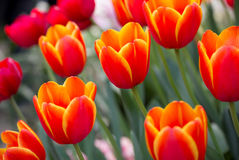 Orange tulip flower Stock Photos