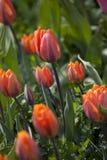 Orange tulip flower Royalty Free Stock Photography