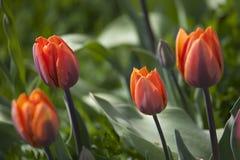Orange tulip flower Stock Photo
