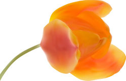 Orange tulip flower isolated on white illustration Stock Photo