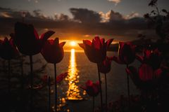Orange tulip  flowers blooming on a hill overlooking sun setting over the lake . Stock Photo