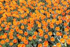 Orange tulip flowers Stock Images