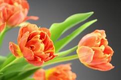 Orange tulip flowers Stock Photo