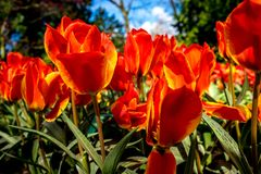 Orange tulip flowers with a yellow tinge in a flower garden in L. Isse, Netherlands, Europe with blue sky on a summer day Stock Photos