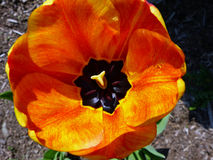 Orange tulip Stock Photography