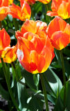 Orange tulip in the garden Royalty Free Stock Photography