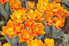 Orange Tulip Garden Stock Images