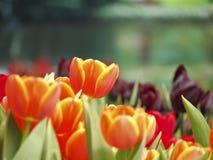 Orange tulip in garden Stock Photography