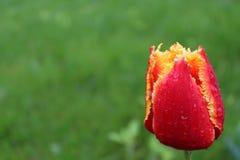Orange tulip. Green background. flower royalty free stock images