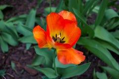 Orange Tulip in the ground closeup stock image