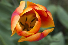Orange tulip Royalty Free Stock Photos