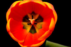 Orange Tulip Macro Stock Photography
