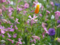 Orange tulip on the meadow full of wildflowers royalty free stock photography
