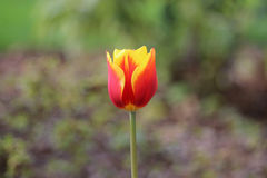 Orange tulip Stock Photos