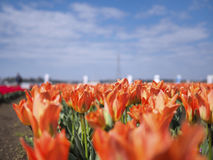 Orange Tulip Royalty Free Stock Image